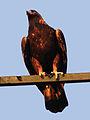 Eagle 06704.jpg