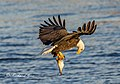 Eagle Fish 2018 - Flickr - The Back Road Photographer.jpg