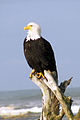 Eagle on roots - crop 3 (430008061).jpg