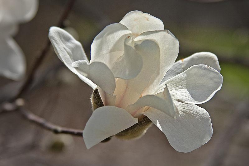 TÌNH YÊU CÂY CỎ  - Page 59 800px-Early_magnolia