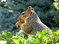 Eastern Fox Squirrel (7897564248).jpg