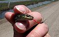 Eastern garter snake (5799905998).jpg