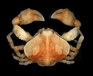 Leucosiidae - Ebalia tumefacta