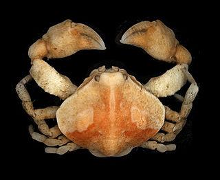 <i>Ebalia</i> genus of crustaceans