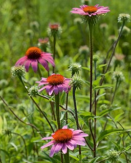 <i>Echinacea purpurea</i> Species of flowering plant in the daisy family Asteraceae