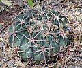 Echinocactus texensis.jpg