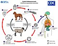 Echinococcus gran LifeCycle lg.jpg