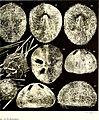 Echinodermes (astéries, ophiures et échinides) (1912) (20952043959).jpg