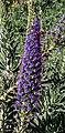 Echium candicans 01.jpg