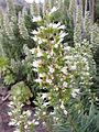 Echium onosmifolium kz2.JPG