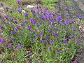 Echium plantagineum plant2 (13919103426).jpg