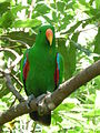 Eclectus roratus -male in a tree2.jpg