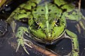Edible Frog - Rana esculenta - panoramio (8).jpg