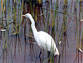 Egret at the Pearl Coast Zoo.jpg
