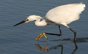 Egretta thula -Berkeley -California -USA-8.jpg