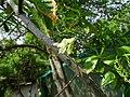 Elaeocarpus ganitrus 01.jpg