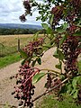 Elderberries on Milber Down - geograph.org.uk - 231697.jpg