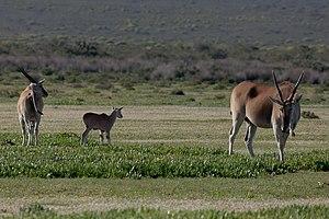 De Hoop Nature Reserve - Image: Elenantilopen