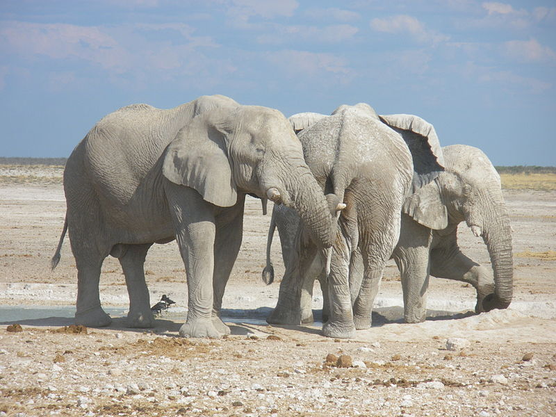 File:Elephants at Etosha National Park01.JPG