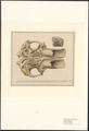 Elephas primigenius - schedel - 1820 - Print - Iconographia Zoologica - Special Collections University of Amsterdam - UBA01 IZA1000536.tif