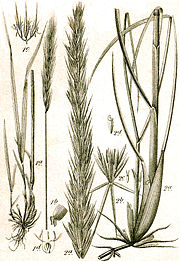 Elymus spp Sturm56.jpg