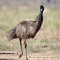 Emu 1 (17995738135).jpg