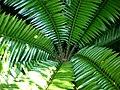 Encephalartos senticosus 2c.JPG