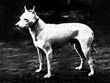 White fighting english terrier