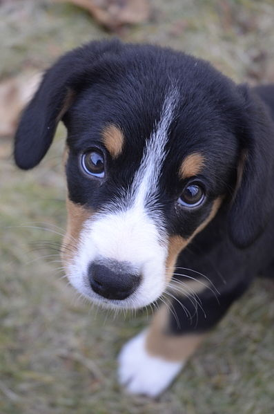 File:Entlebucher Puppy on lawn.jpg