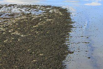 Mono Lake - Large numbers of alkali flies at Mono Lake