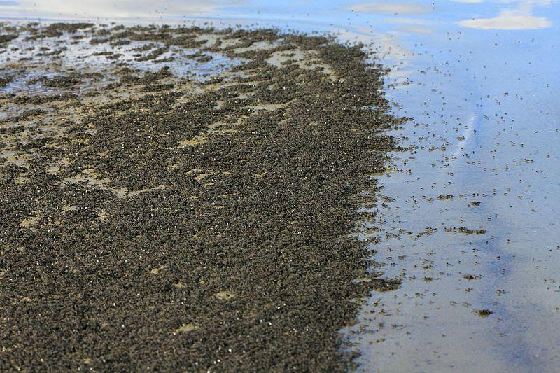 Datei:Ephydra hians mono Lake brine fly.jpg