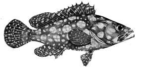 Epinephelus ongus - Image: Epinephelus ongus