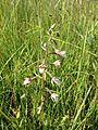 Epipactis palustris (9216326686).jpg