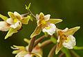 Epipactis palustris - flowers 01.jpg