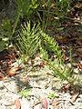 Equisetum arvense R.H (9).JPG