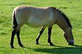 Equus ferus -Marwell Wildlife, Hampshire, England-8a.jpg
