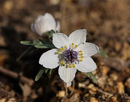 Eranthis pinnatifida 20080208 066.jpg