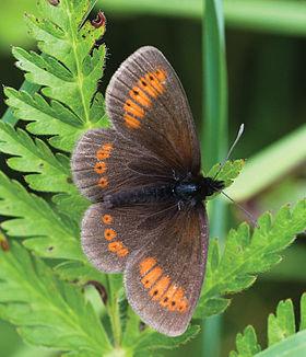 Erebia sudetica - Nature Conservation-001-073-g037.jpg