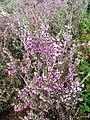 Erica manipuliflora 106594150.jpg