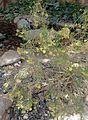 Ericameria nauseosa kz2.jpg
