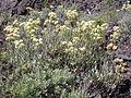 Eriogonum umbellatum umbellatum (4395563781).jpg