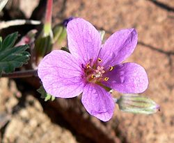 Erodium texanum 2.jpg