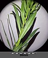 Erysimum cheiranthoides sl3.jpg
