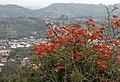 Erythrina - Corticeira.jpg