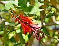 Erythrina humeana in Jardin des Plantes de Toulouse 02.jpg