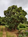 Erythrina latissima07.jpg