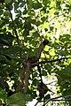 Erythrina poeppigiana 8zz.jpg