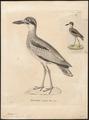 Esacus magnirostris - 1700-1880 - Print - Iconographia Zoologica - Special Collections University of Amsterdam - UBA01 IZ17200105.tif
