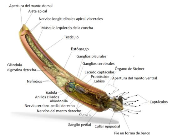 Scaphopoda - Wikipedia, la enciclopedia libre