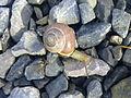 Escargot sur du gravier à Grez-Doiceau 001.jpg